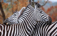 Two zebras, Kruger National Park, South Africa
