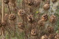 Nigella gallica, Seed capsule of Galllica Nigella