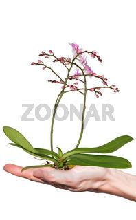 Orchidee auf Hand freigestellt