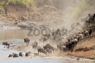Wildebeest migration