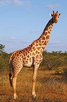 giraffe in south africa, Mapungubwe National Park