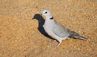 cape turtle-dove, South Africa