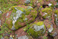 Rocks and moss in Aletschwald forest Switzerland