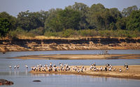yellow-billed storks at South Luangwa NP