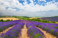 Provence with blooming lavande