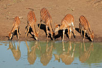 Nyala antelopes drinking