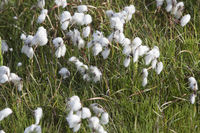 Eriophorum, cottongrass, Iceland