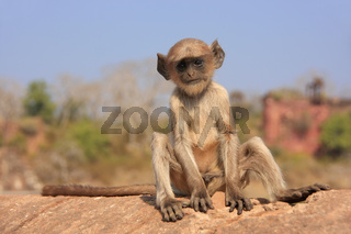 Baby Gray langur (Semnopithecus dussumieri) playing at Ranthambore Fort, India