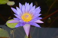 Blaue Lotusblume, auch blaue Wasserlilie (Nymphea caerulea),  im