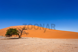 Dune 45 in sossusvlei Namibia with green tree