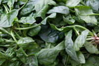 Fresh green leaf spinach