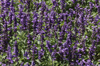 Salvia farinacea Farina Violet, Sage, Mealy sage