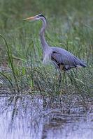 Great Blue Heron in nuptial plumage