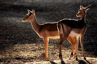 Backlit impala antelopes