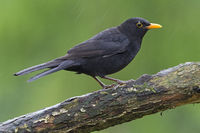 Common Blackbird male sitting in rain on a branch