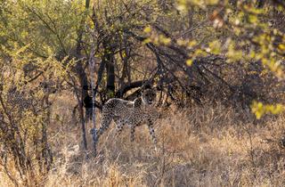 A Cheetah seen in the Tshukudi Game Reserve