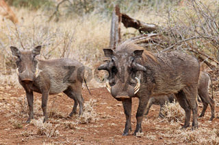 Warzenschweine im Kruger Nationalpark, Südafrika; Warthogs, South Africa, wildlife, Kruger Nationalpark
