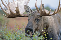 Bull Moose in portrait - (Alaska Moose)