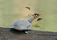 butterflies and a Yellow-spotted Amazon river turt