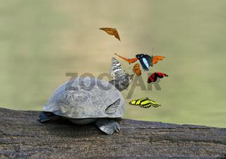 Schmetterlinge und Terekay-Schienenschildkröte