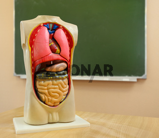 Close up of anatomical  model of a human body