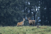 Red Deer stag and hinds on a forest meadow
