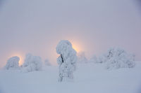 Snow-covered pine tree in front of the spotlight,