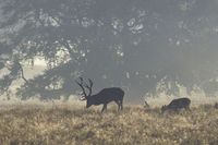 Red Deer stag, hind and calf in morning fog