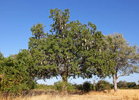 saugage tree in South Luangwa National Park