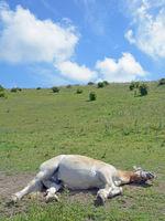 D--Rügen--schlafendes Pferd in der Mittashitze.jpg
