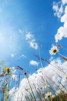 Amazing sunny day at summer meadow with wildflowers under blue sky. Nature floral background