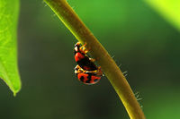 Ladybirds mating and walking along stem of plant