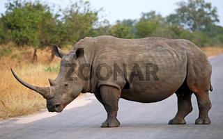 Breitmaulnashorn auf der Straße im Kruger Nationalpark, Südafrika, Breitlippennashorn, white rhinoceros on the street, Ceratotherium simum
