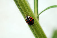 Ladybird walking along a stem of plant