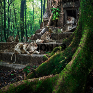 Monkeys relaxing at temple ruins in jungles