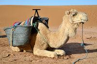 Dromedary in Sahara