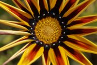 Gazania hybrid, Treasure flower in summer
