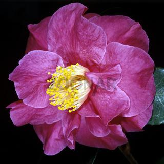 Kamelie, Camellia