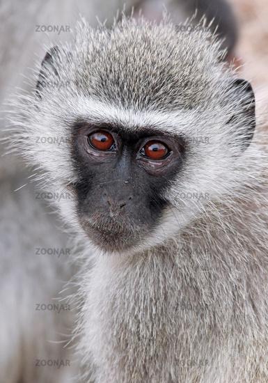 vervet monkey, Kruger National Park, SA