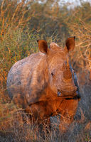 warm evening light on white rhinoceros, SA