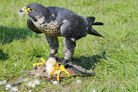 Peregrine Falcon with its prey