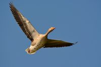 greylag goose flying