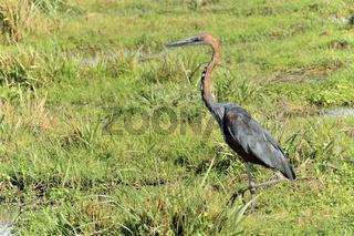 Goliathreiher auf Jagd in den Sümpfen von Amboseli