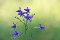 Field larkspur