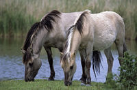 Heck Horse stallions grazing at pondside
