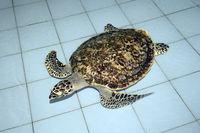 ca. 2 Jahre alte echte Karettschildkröte (Eretmochelys imbricata