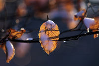 Beech leaves with snow and drops of dew