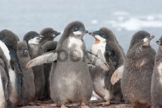 Kindergarten young Adelie penguins.
