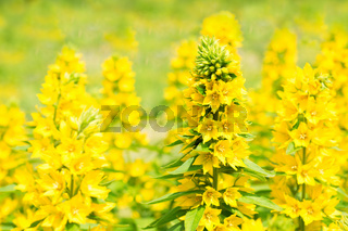 loosestrife flowers