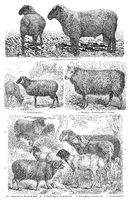 Breeds of sheep, 19th Century